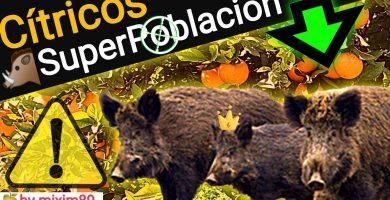 Los jabalíes superpoblación ataques en citricos daños agricultura by mixim89