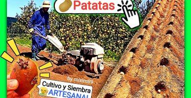 Cultivar o sembrar patatas Manitou y Agria de manera orgánica en la huerta by mixim89