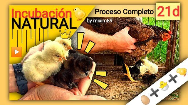 Incubación natural pollos y gallinas de corral pollitos recién nacidos proceso completo by mixim89