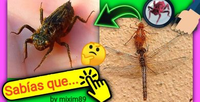 Ninfas de Libélula la metamorfosis y crisálida de las libélulas by mixim89