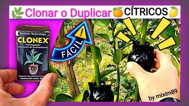 Acodo aéreo en citricos naranjos y limoneros como clonar y duplicar una planta by mixim89