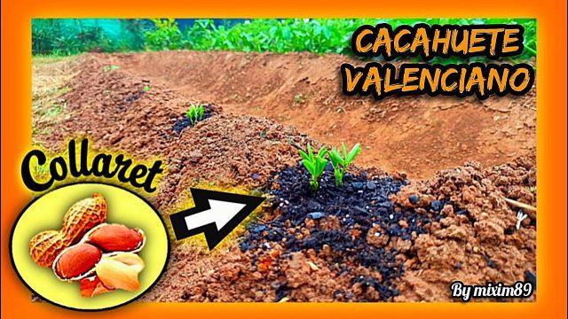 """Cultivo de CACAHUETE VALENCIANO """"Cacau COLLARET"""" SEMBRAR en JUNIO desde Semillero by mixim89"""