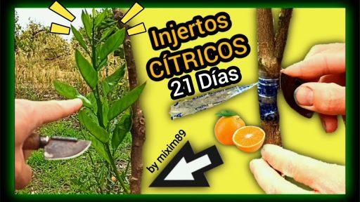 Injertos en citricos variedad valencia sobre citrus macrophylla, citrus volkameriano y acodo aéreo limonero con éxito by mixim89