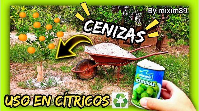 ABONADO en CÍTRICOS (Uso de las CENIZAS) Agricultura Regenerativa en Naranjo y Limonero by mixim89