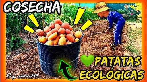 Cosecha y recoleccion de patatas ecológicas variedad roja manitou y blanca agria de manera tradicional by mixim89