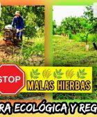 Eliminar malas hierbas sin herbicidas y reaprovechar como abono verde en campo de citricos by mixim89
