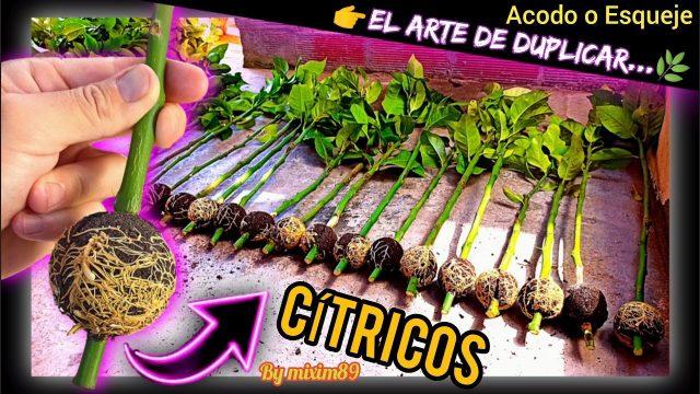 Resultados ACODO AÉREO o ESQUEJE en CÍTRICOS (Naranjo y Limonero) Clonar y Duplicar Plantas by mixim89