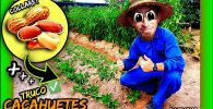 Como aumentar producción y recolectar más cacahuetes (Cacahuete Valenciano Collaret) by mixim89