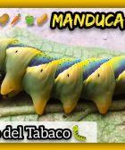 MANDUCA SEXTA Multicolor Gusano del Tabaco o del Cuerno PLAGA VERDURAS y HORTALIZAS by mixim89