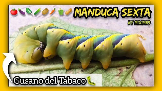 """MANDUCA SEXTA """"Multicolor"""" Gusano del Tabaco o del Cuerno (PLAGA VERDURAS y HORTALIZAS) by mixim89"""